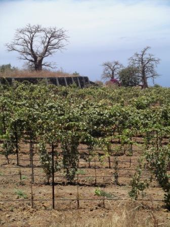 vinha e baobab