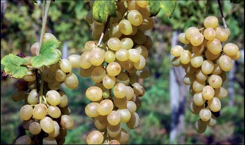 uva-catalanesca