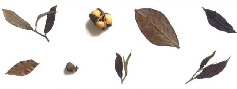 Pu'er, la Straordinaria Storia di Eastern Leaves